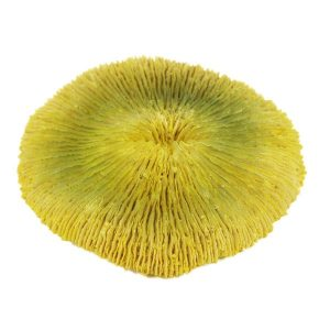 Yellow Plate Coral