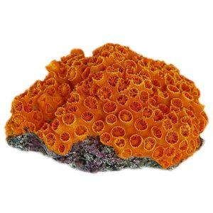 Orange Sun Coral