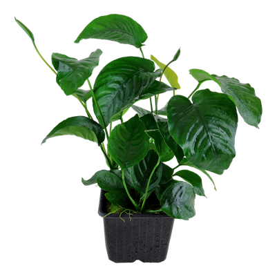 Anubias barteri var caladiifolia - Mother Plant Potted
