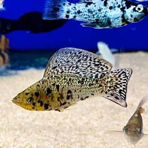 molly sailfin