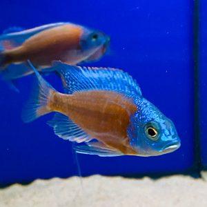 Haplochromis borleyi