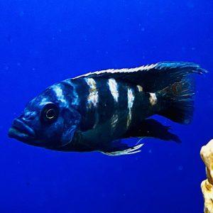 Haplochromis milomo VC10